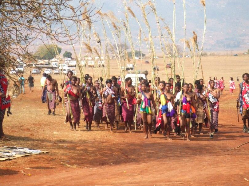 Girls carrying reed bundles during the Umhlanga